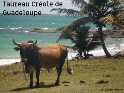 Bovin Créole de Guadeloupe