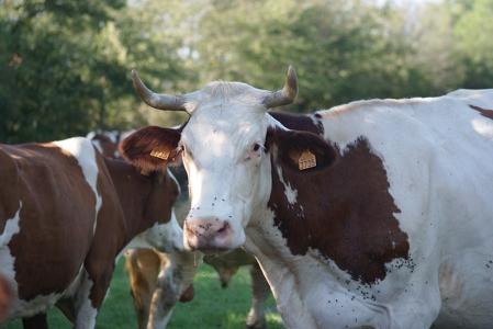 Vache de la race Moltbéliarde en pature