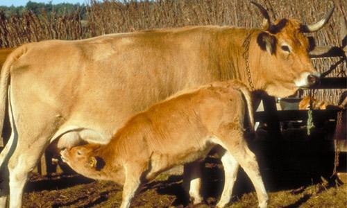 Veau qui tête la vache