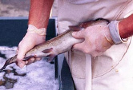 INRA GABI GenAqua Génétique Aquaculture