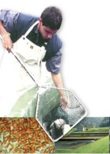 Selection accompanies food transition in fish farming