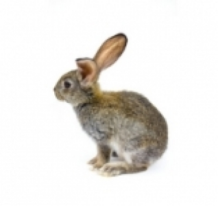 Sequencing of the rabbit genome: how the wild rabbit has become domesticated
