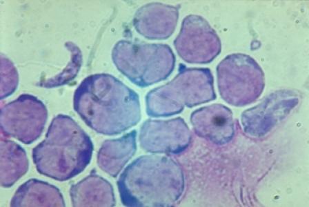 Nutrirégulation des microARNs dans la glande mammaire chez les ruminants