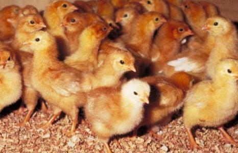 Paramètres de réponse de poulets de chair à l'infection par Eimeria maxima (coccidiose)
