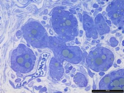 R-Spondin1, gène est indispensable pour la mise en place de la lactation