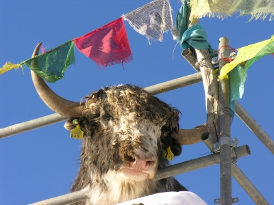 Analysis of the Yak genome