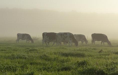 Les vaches,
