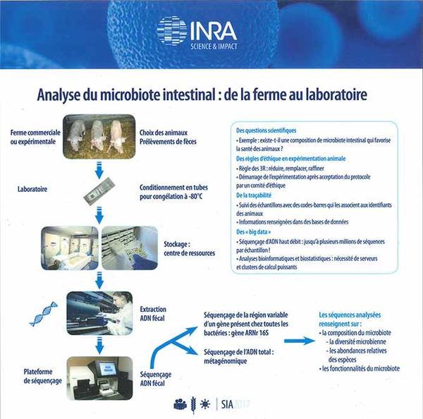 Schéma de l'analyse du microbiot intestinal : de la ferme au laboratoire