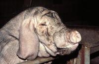 image-cochon-quizz-biodiv
