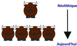 des Aurochs vers le début de la domestication