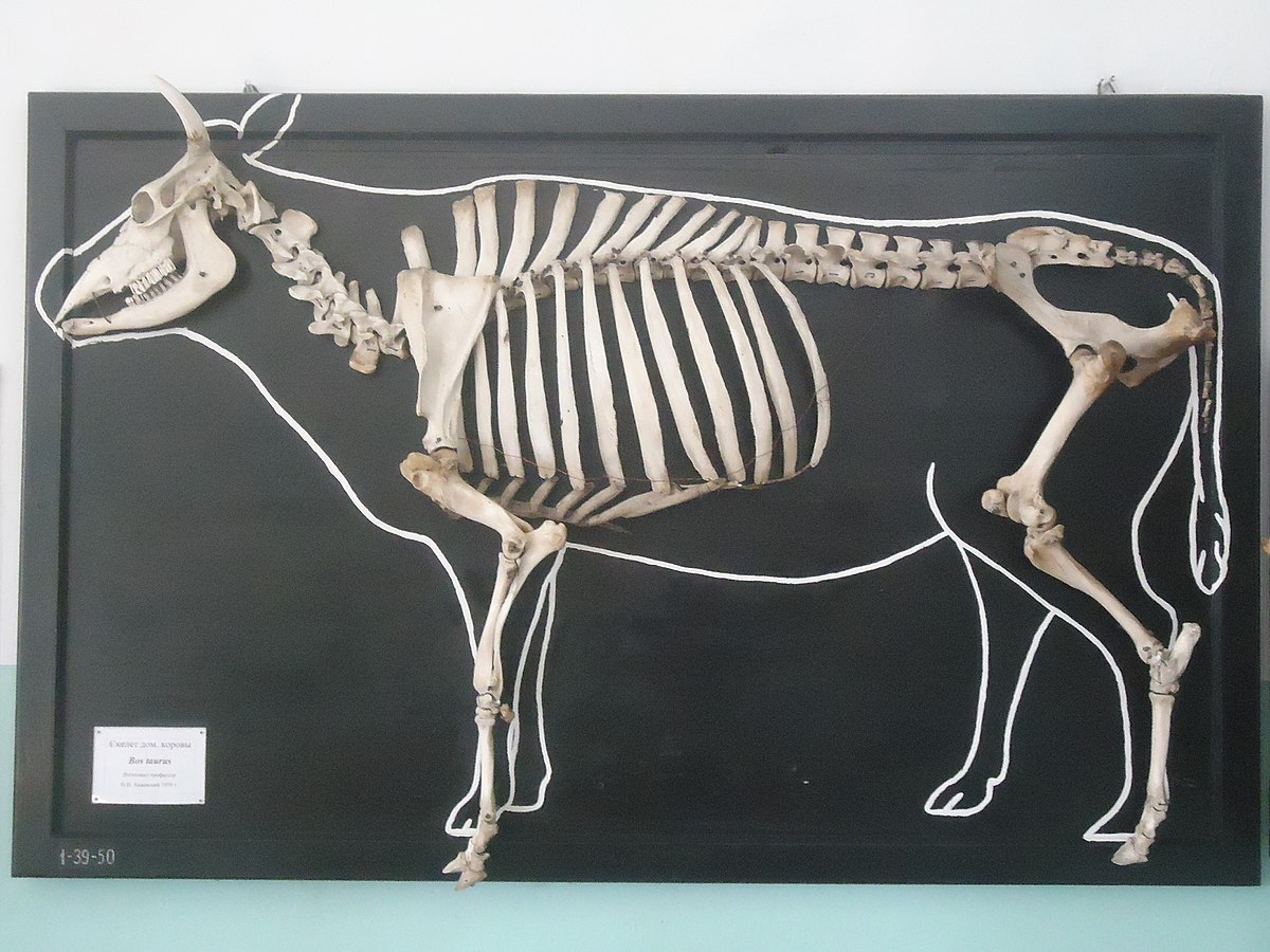 Андрюша Романов, Displayed skeleton of a domestic cow, CC BY 4.0 Скелет домашней коровы, 2014