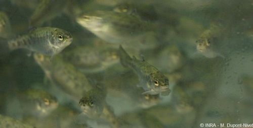 Food transition in the rainbow trout