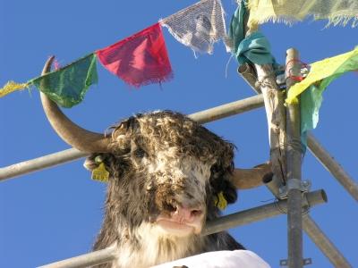 Bovine legacy in Mongolian yak genomes