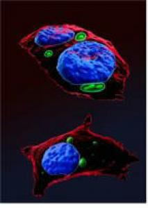 Images réalisées sur le microscope Leica SP8 de la plateforme Cymages et reconstruites avec le logiciel Imaris.