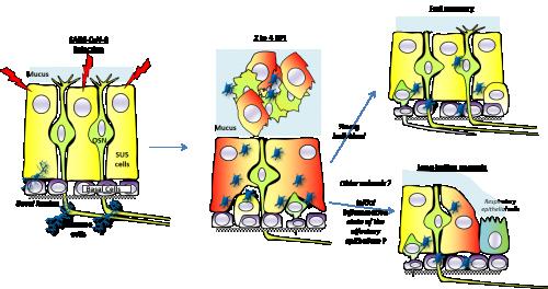 Modèle expliquant l'origine cellulaire de l'anosmie (OSN neurones olfactifs, SUS cellule de soutien, DPI, jour après infection)