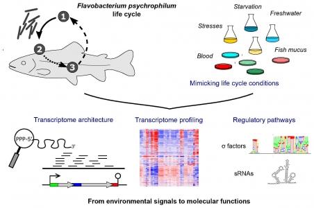 Les bases moléculaires de l'adaptation d'une flavobactérie pathogène des poissons