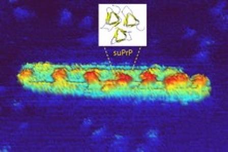 Cliché de microscopie à force atomique (AFM) d'un assemblage de prion humain. Les motifs périodiques représentent l'unité élémentaire, suPrP - présente au sein de l'assemblage de prions - et sa structure potentielle