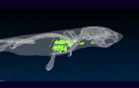 Visualisation 3D des zones de réplication du virus chez une souris NF-κB, système IVIS