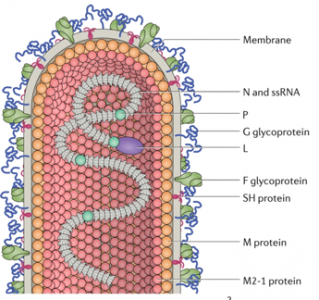 Physiopathology of the Respiratory Syncytial Virus infection