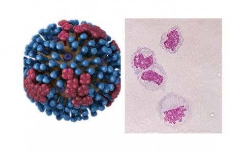 Interactions du virus influenza avec les phagocytes et vaccination antigrippale chez le porc.