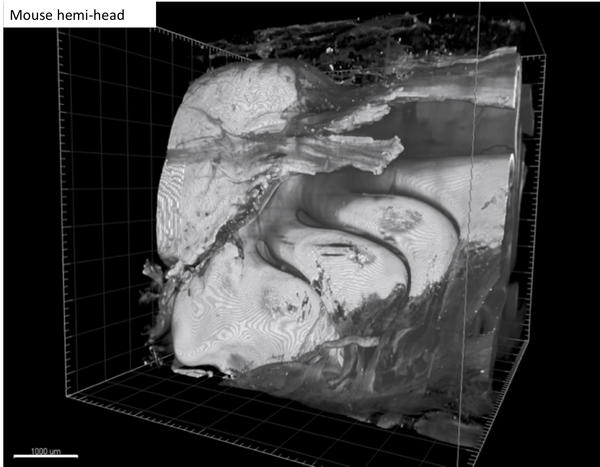 mouse hemi head