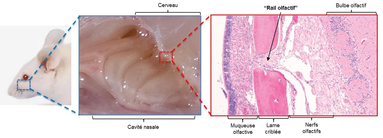 Anatomie de la muqueuse olfactive