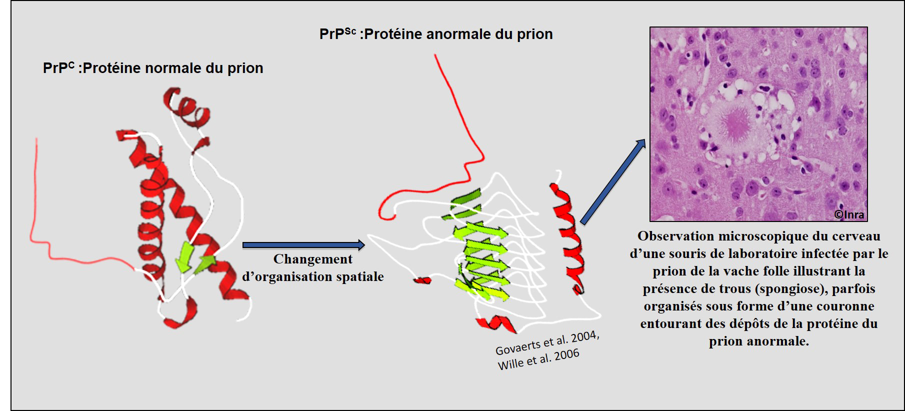 C'est sous sa forme anormale que la protéine prion devient pathogène. © Inra, Mohammed Moudjou