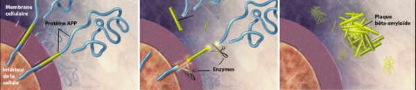 Formation des plaques amyloïdes. ©Wikimedia, CC BY