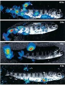 Follow-up of viral infection in fish