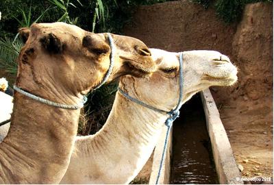 On estime à 350 000 le nombre de dromadaires en Algérie, animal emblématique et indispensable à la vie économique et sociale. © Inra, Mohammed Moudjou