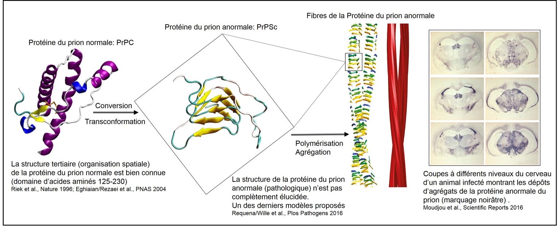 Visualisation du changement de structure de la protéine Prion normale en protéine pahologique. © Inra, Mohammed Moudjou