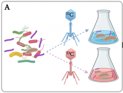 Bacterial growth on T4 phages. Identification of 13C-labeled bacteria: the 13C-labeled T4 (red) were incubated with a microbial community of a wastewater treatment plant in the same conditions as the 12C control (blue).